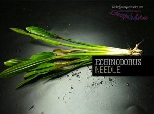 needle-echinodorus-needle-echinodorus-bucephalandra--export-import-plants-amp-fish-indonesia