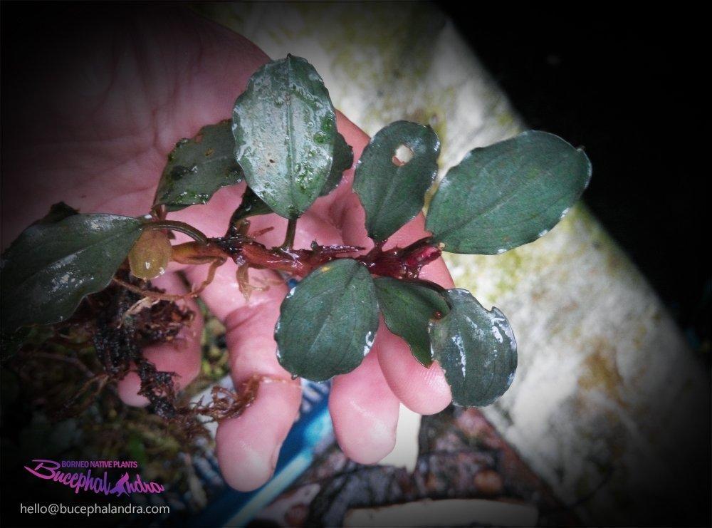Bucephalandra sp Hisyam