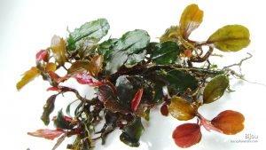 bucephalandraspbijou-bucephalandra--export-import-plants-amp-fish-indonesia